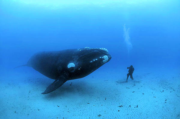 Whale gently follows and observes a diver, eye to eye. He carefully turns so that his eye is within inches of the diver's mask.
