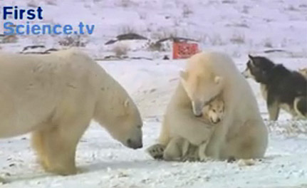 Polar Bear loves little Husky